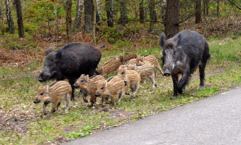 Afrykański pomór świń (ASF)